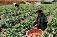 Strawberry farm in Da Lat – fresh tour tickled pink
