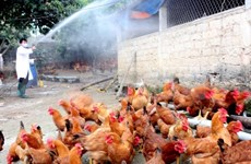 Lao Cai strives to wipe out A/H5N6 influenza virus