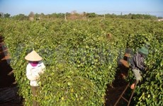 Vietnam's pepper export exceeds one billion USD for first time