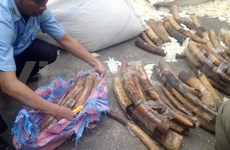 Hai Phong port customs discovers smuggled elephant tusks