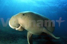 Phu Quoc festival focuses on protecting dugong