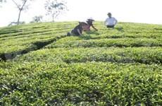 Tea exports expected to reach 245 million USD