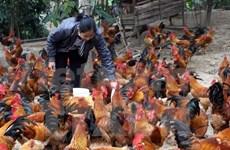 Avian flu reported in Mekong Delta province