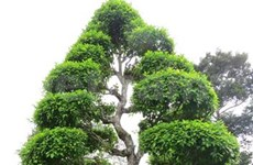 Dong Thap: Ancient trees win heritage honour
