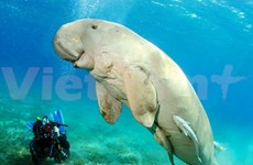 Vinpearl Phu Quoc wants to join conservation of Dugong