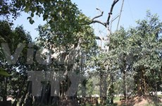 Historic banyan tree in Tan Trao revived