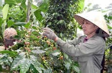 Coffee exports fall in January