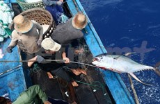 2015's first tuna catch off to Japan