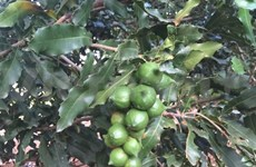 Dak Nong spends big on Macadamia development