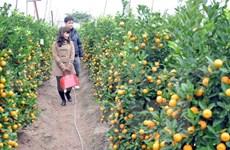 Clever growers switch to bonsai kumquat trees