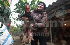 Emperor's chickens attract foreign interest