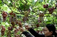Grape growing contributes to Ninh Thuan's development