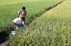 Specialised rice growing areas to be formed in Mekong Delta