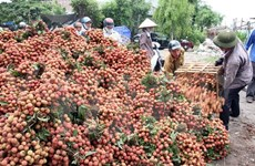 Hai Duong farmers to ship first litchi batch to US