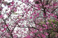 Hanoians avidly await cherry blossom festival