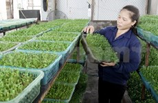 Hanoi's consumers switch to safer vegetables