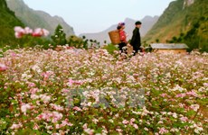 Ha Giang province to host buckwheat flower festival