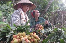 Quality, image focus urged for lychee exports