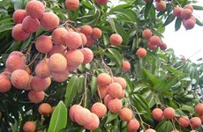 Lychee marketers on a roll