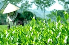Vietnamese tea needs to have world certification
