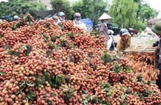 Bac Giang seeks lychee consumption market