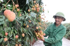 Lychee export to Japan paves way for other Vietnamese fruits