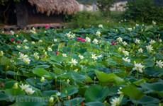 Charming lotus pond with 170 lotus varieties in Hanoi