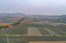 Pineapple fields in Ninh Binh province