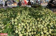 Sweet flavor of Chi Lang custard apples