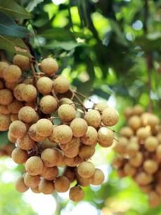 Vietnamese fruits sail into global markets