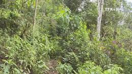 Lai Chau preserves ancient Shan Tuyet tea tree