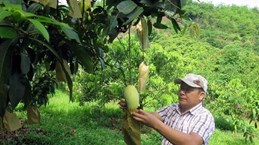 Vietnamese mangoes enter Chilean market