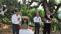 Ancient tea trees in Yen Bai receive recognition