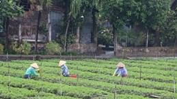 Tien Giang develops specialised vegetable-growing areas
