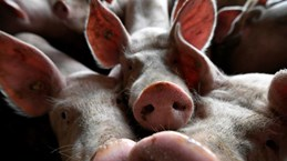 Timor Leste reports African swine fever outbreaks