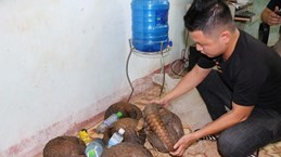 Quang Tri: Wildlife trafficker arrested, five pangolins rescued