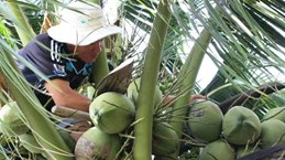 Over 200,000 visitors flock to Ben Tre coconut festival