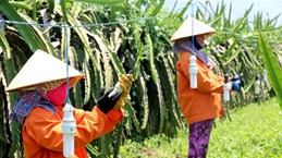 Binh Thuan grows more dragon fruit under GAP standards