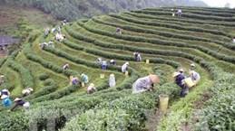Thai Nguyen festival honours tea processing industry