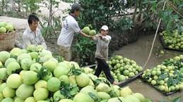 Chile opens door for Vietnam's pomelo