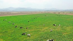 Vinamilk plans to import 1,200 milch cows from US in 2021