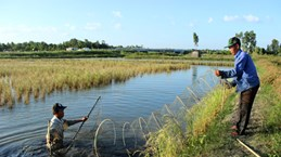 Ca Mau expands cultivation of giant river prawns, rice in same rice fields
