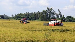 Thousands of hectares of rice affected by salinity, diseases in Kien Giang