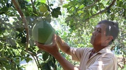 Grapefruit helps people in Ninh Thuan get out of poverty