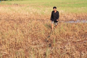 Climate change inflicts damage on rice in Mekong Delta provinces