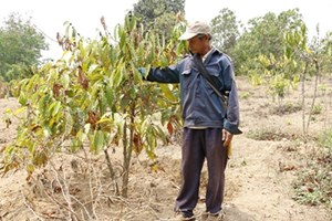 Drought takes toll on coffee plantation in Central Highlands