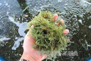 Ninh Thuan: sea grapes farming produces high profit