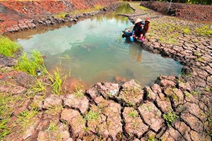 Mekong Delta farmers struggle with drought, salinity aftermath
