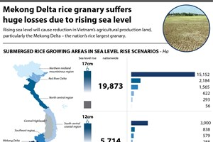 Mekong Delta rice granary suffers huge losses due to rising sea level