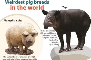 Weirdest pig breeds in the world